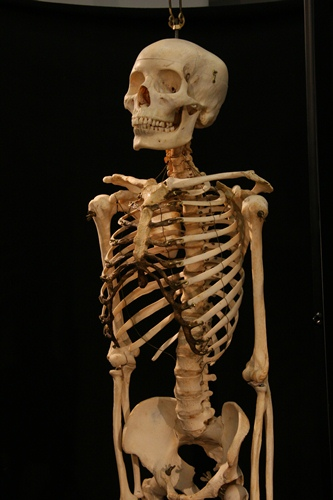 Real Skull 10 Interesting Skeletal System Facts