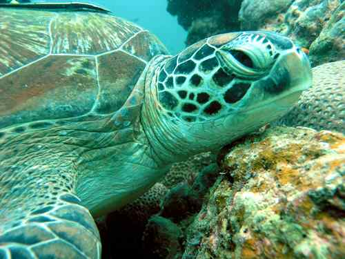 Sea Turtle Fact