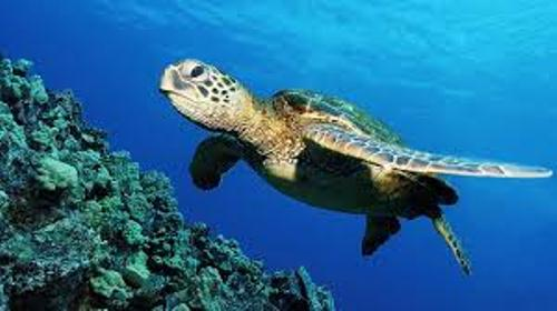 Sea Turtle Swims