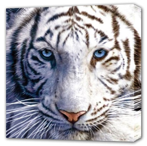 10 Interesting White Tiger Facts