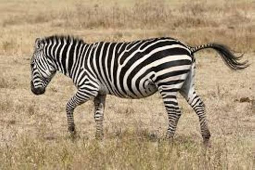 Wild Zebra 10 Interesting Zebra Facts