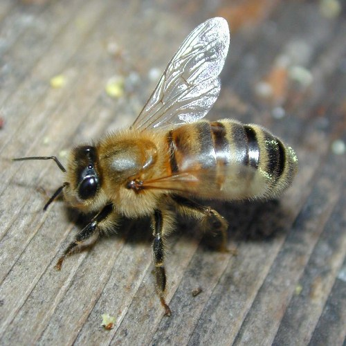 10 Interesting Bee Facts | My Interesting Facts - photo#28