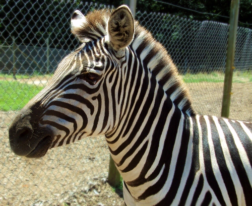 Zebra Facts 10 Interesting Zebra Facts