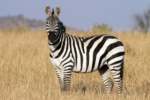 Zebra in Africa 10 Interesting Zebra Facts