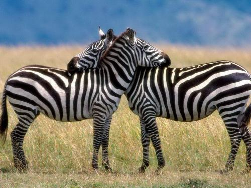 Zebra 10 Interesting Zebra Facts