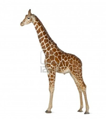 somali Giraffe 10 Interesting Giraffe Facts
