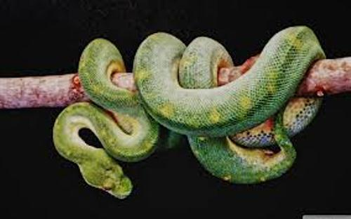 Boa Constrictor  in Green Color