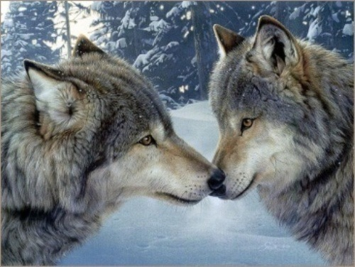 10 interesting grey wolf facts my interesting facts