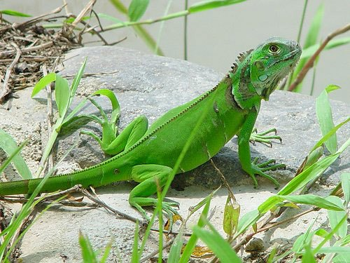 Iguana in Green color