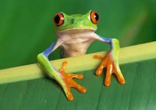 Red Eyed Tree Frog in Forest