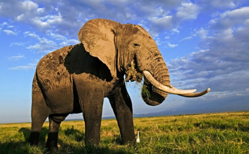 African Elephant in Big Size