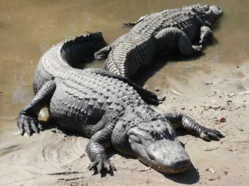 a look at the adaptations of the american alligator Alligator facts are among the most intriguing learn interesting facts about alligators american alligators are native to the look at 10 of africa's.