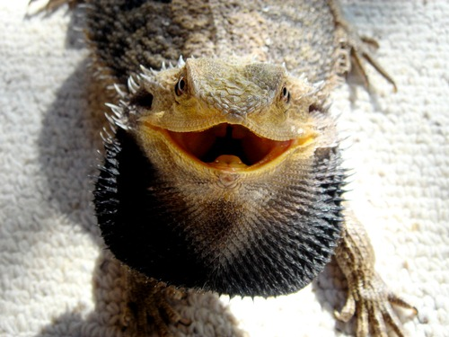 Bearded Dragon with Spikes