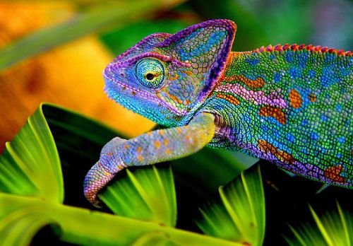Chameleon in Colorful Look