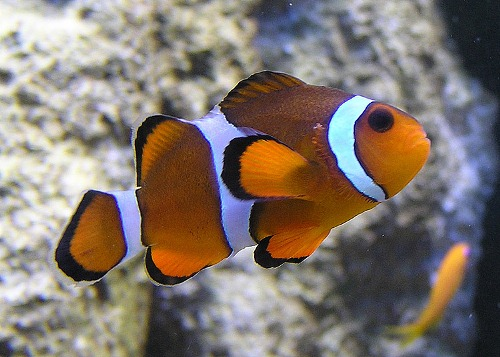 Clown fish facts