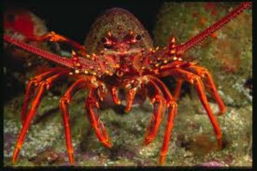 Crayfish facts 10 Interesting Crayfish Facts