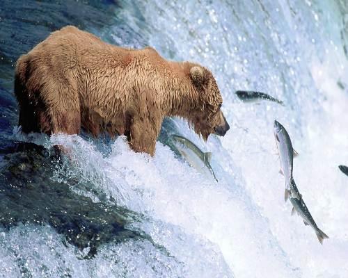 10 Interesting Grizzly Bear Facts | My Interesting Facts - photo#30