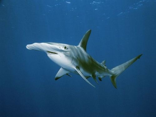 Hammerhead Shark Swims