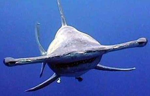 10 Interesting Hammerhead Shark Facts | My Interesting Facts
