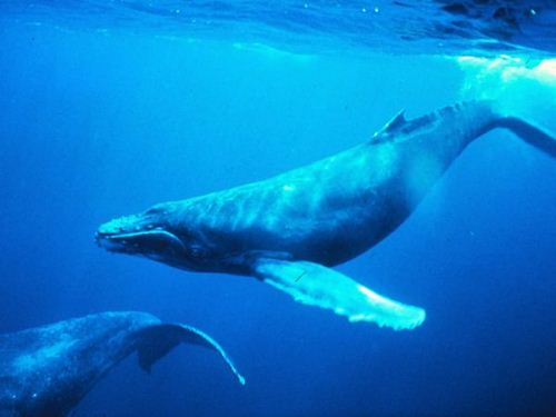 Humpback Whale Fact