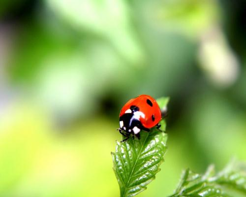 10 fascinating facts about ladybugs wikipedia