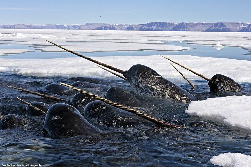 Narwhal pod 10 Interesting Narwhal Facts