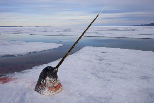 Narwhal 10 Interesting Narwhal Facts