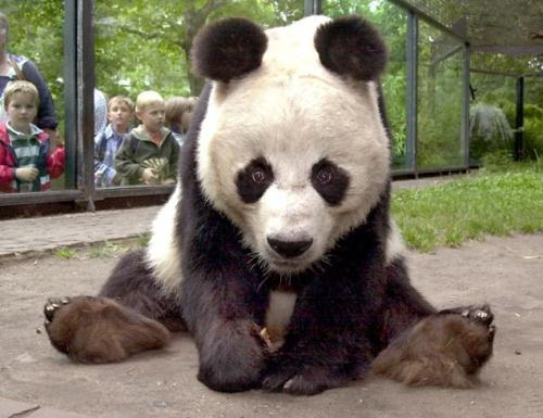 10 Interesting Panda Facts | My Interesting Facts