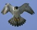 10 Interesting Peregrine Falcon Facts