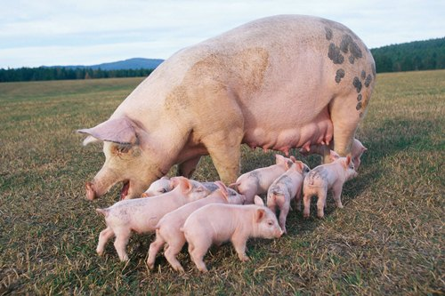Pig and Baby Pigs