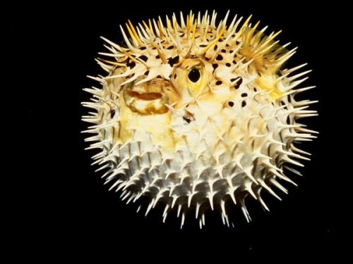 10 interesting puffer fish facts my interesting facts