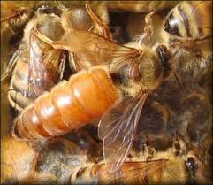 Queen Bee 10 Interesting Honey Bee Facts