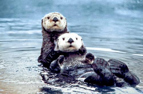 Sea Otter in Pair