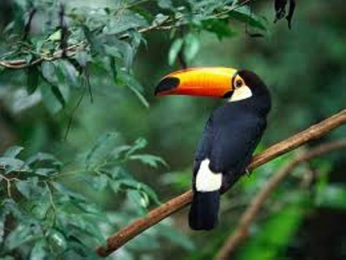 10 Interesting Toucan Facts | My Interesting Facts