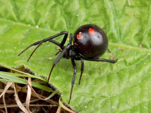 black widow 10 Interesting Spider Facts