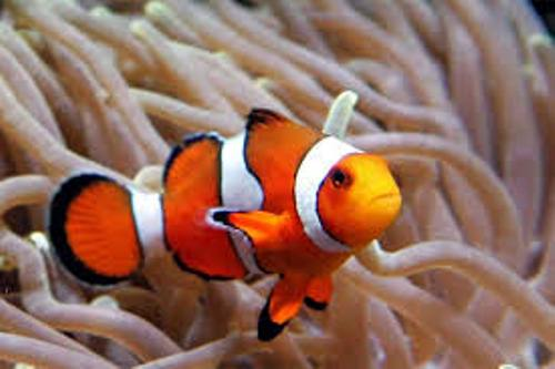 clown fish and sea anemone