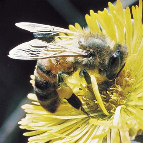honey bee 10 Interesting Honey Bee Facts