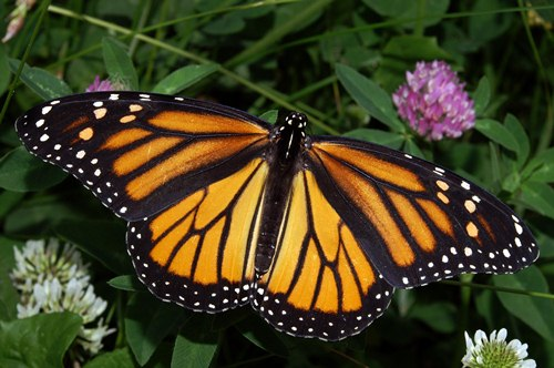 monarch butterfly  in May