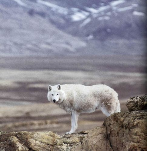 Artic Wolf Facts
