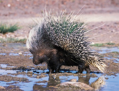 Porcupine on Water