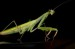 10 Interesting Praying Mantis Facts
