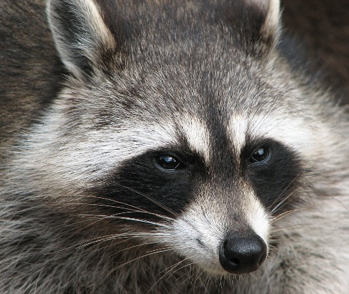 Raccoon's Face