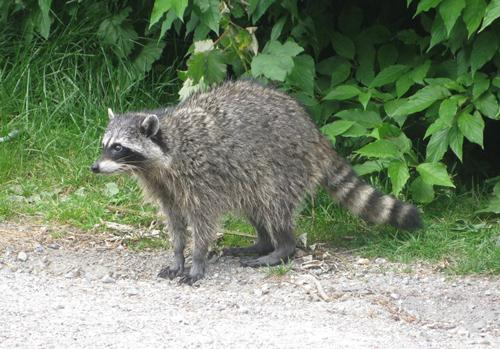 Small Raccoon