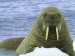10 Interesting Walrus Facts