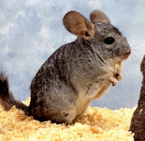 10 Interesting Chinchilla Facts | My Interesting Facts