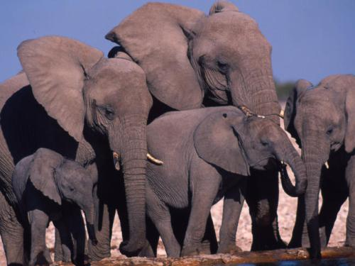 African Elephants Facts