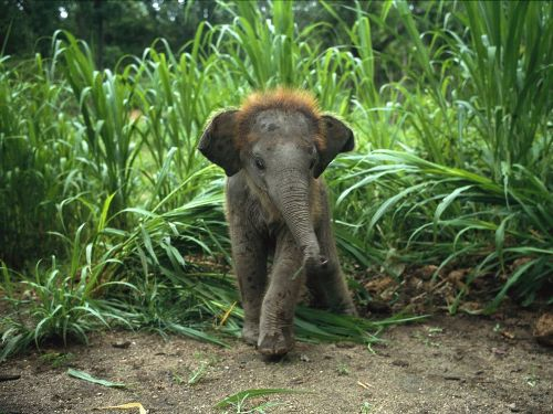 Asian Elephants facts