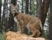 10 Interesting Bobcat Facts