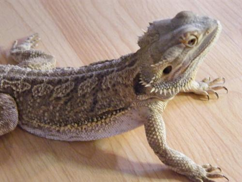 Bearded Dragons pic