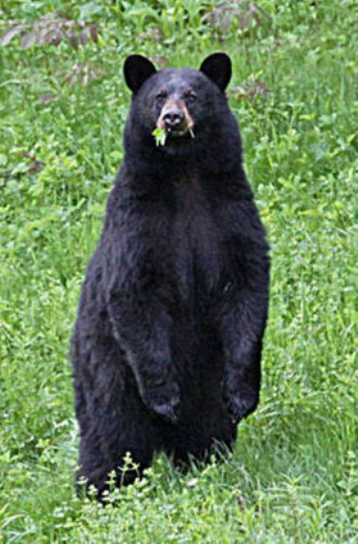 Black Bear in US